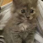 Красивые котята, малыши в добрые руки, Новосибирск