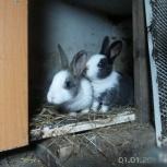 Голландские (датские) кролики, Новосибирск