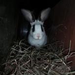 Крол белый с черными ушками, Новосибирск