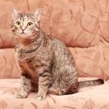 Ценителям классики – очень красивая молодая полосатая кошечка Дарёнка!, Новосибирск