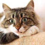 Красивая кошка Анабэль, Новосибирск