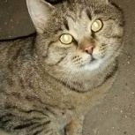 Коты и кошки  из приюта окрас агути от 1 до 3 лет, Новосибирск