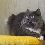Микки - красивый пушистый котик, Новосибирск