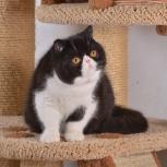 экзотик котенок, Новосибирск