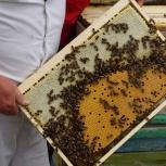 Продам пчелосемьи карпатской породы, Новосибирск