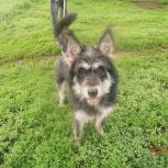 Грей ищет дом, отдам собаку, Новосибирск
