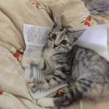 Трехцветный котенок 3 месяца (девочка), Новосибирск