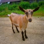 Продам дойную козу и козлят, Новосибирск
