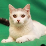Котенок-подросток, красивый мальчик, 6-7 мес., Новосибирск
