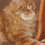Предлагаю лапу и сердце. Предлагается для вязки котик мейн кун, Новосибирск
