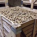 продажа семенного картофеля оптом, Новосибирск