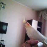 Продам попугая корелла с большой клеткой, Новосибирск