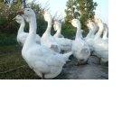 Холмогорские гуси - гуси, которые  Вас радуют, Новосибирск