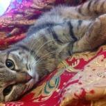 Великолепный котик Шторм ищет дом!, Новосибирск