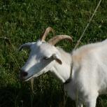 Продаётся коза, Новосибирск