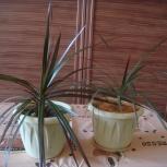 продам драцену, дифенбахию, хлорофитум 2 вида, традесканцию 2 вида, Новосибирск