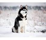 Пропала собака порода хаски, Новосибирск