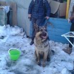 Найдена овчарка, Новосибирск