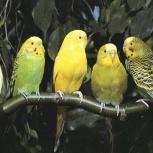 Волнистые попугайчики от заводчика (доставка), Новосибирск