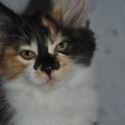 Отдам котенка курильского бобтейла, Новосибирск