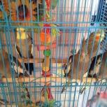 Птенчики Кореллы- Нимфы домашнего разведения, Новосибирск