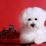 Замечательная собака от красивых родителей, Новосибирск
