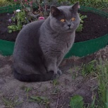 Отдадим за символическую плату красивого британца кота, Новосибирск