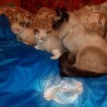 Потерялась сиамская кошка, Новосибирск