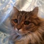 Кошка Малышка Ася (стерилизованная), Новосибирск