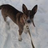 Метисочка стаффа, молодая собака-охранница Вита ищет дом!, Новосибирск
