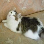 Пушиночка ищет дом и надежных любящих хозяев. Отдам кошку, Новосибирск