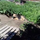 Сторожевой пёс в добрые руки, Новосибирск
