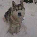 Потерялась собака Хаски, Новосибирск