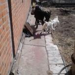 продаются козлята молочной породы, Новосибирск