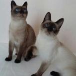 Тайские кошки в добрые руки, Новосибирск