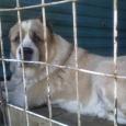 Собака Алабай Бим, 5 лет, Новосибирск