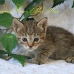 Котенок Пиксибоб Полинка-малинка, Новосибирск
