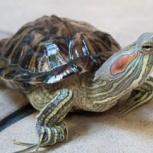 Отдам черепаху в хорошие руки, Новосибирск