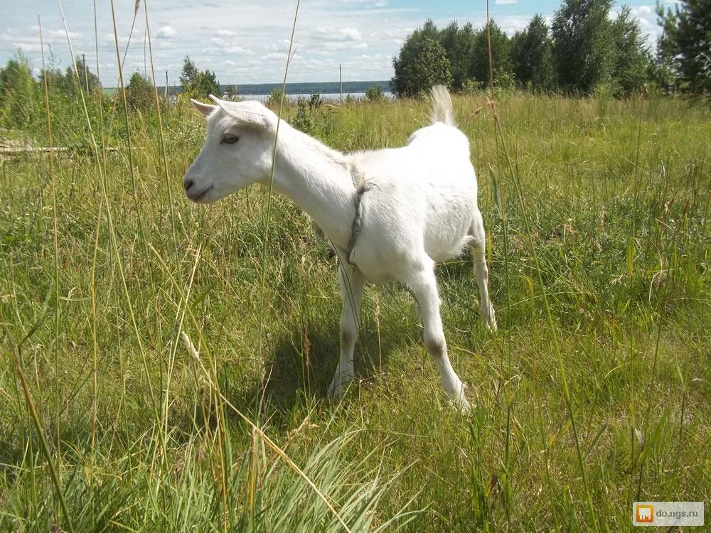 Овцы козы свиньи видэо часное подворье видэо фото 46-613