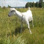 Продам коз молочных пород, Новосибирск