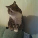 Отдам шотландского кота в добрые руки, Новосибирск