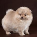 Профессиональный питомник продает щенка миниатюрного шпица, Новосибирск
