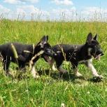 Восточноевропейская овчарка, щенки, Новосибирск
