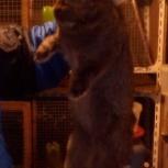Продам крола на племя или обменяю, Новосибирск
