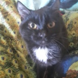 Найден черный кот на улице Макаренко, Новосибирск