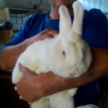 Новозеландские белые, калифорнийские,серебро, чистопородные кролики, Новосибирск