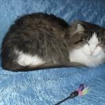 Кошка Молли 1 год, стерилизованная ласкуша, Новосибирск