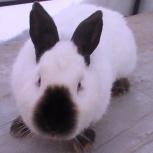 Кролики калифорнийской породы всегда в продаже, Новосибирск