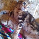 бенгальчики котята, Новосибирск