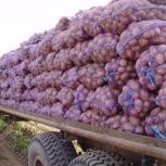 """Акция! Продам картофель: сорт """"розара"""" и """"тулеевский"""", Новосибирск"""